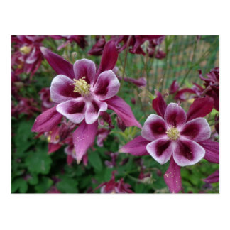 Blooming Columbines Postcard