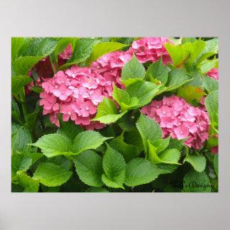 Blooming Hydrangeas Poster