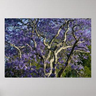 Blooming Jacaranda Trees in New Farm Park, 2 Poster