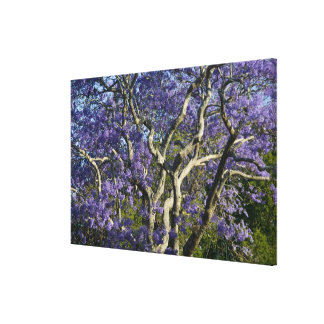 Blooming Jacaranda Trees in New Farm Park, Canvas Print
