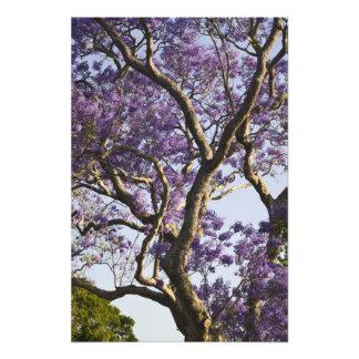 Blooming Jacaranda Trees in New Farm Park, Photo Print
