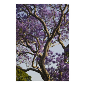 Blooming Jacaranda Trees in New Farm Park, Poster
