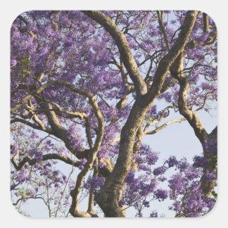 Blooming Jacaranda Trees in New Farm Park, Square Sticker