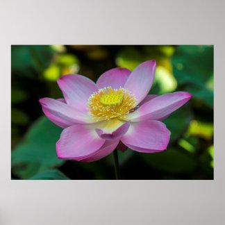 Blooming lotus flower, Indonesia Poster