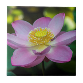 Blooming lotus flower, Indonesia Small Square Tile