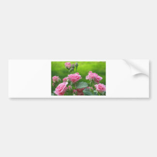 Blooming Pink Roses Bumper Stickers