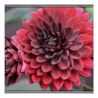 Blooming Red Dahlias Poster