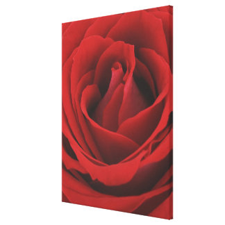 Blooming Red Rose Canvas Print