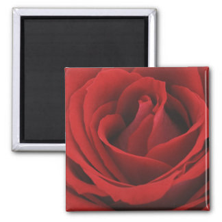 Blooming Red Rose Square Magnet