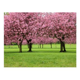 Blooming Sakura Trees Postcard