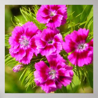 Blooming Sweet William Flowers Print