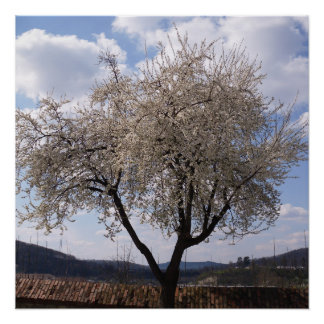 Blooming tree from the medieval city of Sighisoara