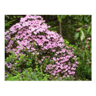 Blossom-covered Pink Shrub flowers Postcards