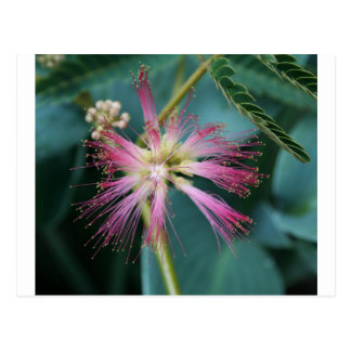 Blossom of Pink Mimosa Postcard