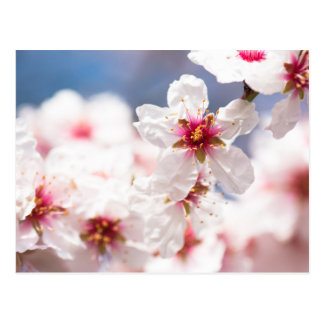 Blossom of the almond tree postcard