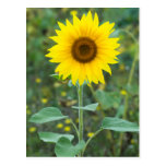 Blossom Sunflower Wildflower Postcard