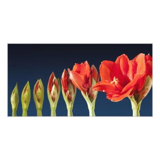 Blossoming Amaryllis Flower Photograph