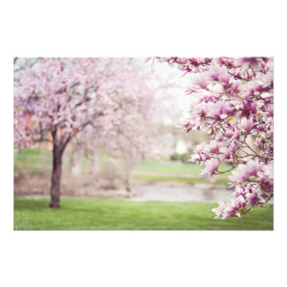 Blossoming Magnolia Trees Photo Print