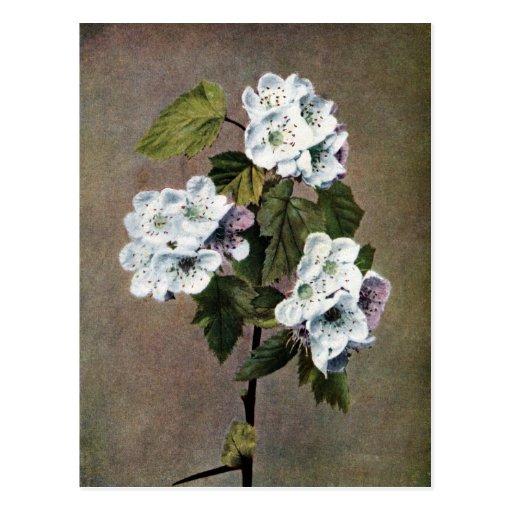 Blossoming Scarlet Haw Vintage Illustration Post Card