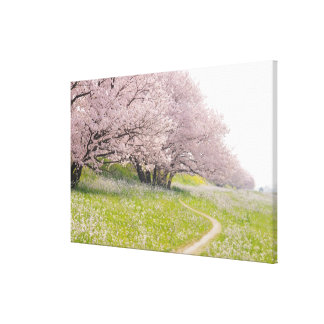 Blossoming Yoshino cherry trees in a field of Canvas Print