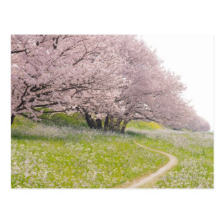 Blossoming Yoshino cherry trees in a field of Postcard