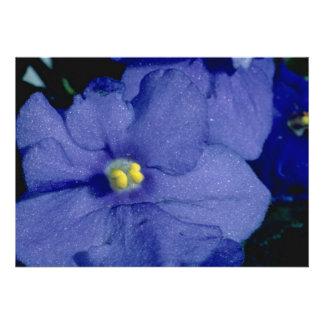 Blue African violet flowers Announcements