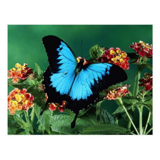 Blue and Black Butterfly Postcard