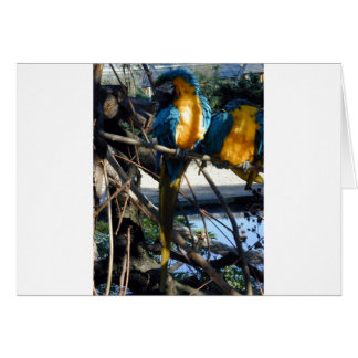 blue and gold macaw greeting cards