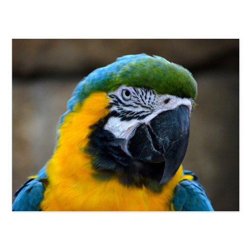 blue and gold macaw parrot head view c post card