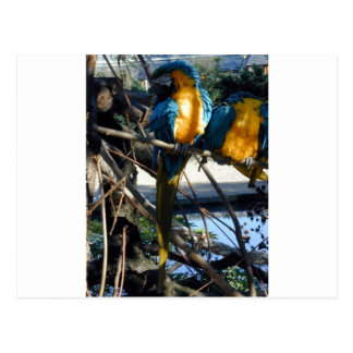 blue and gold macaw post cards