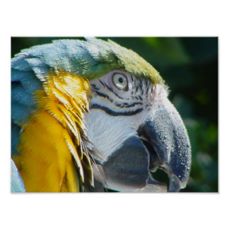 Blue and Gold Macaw Print