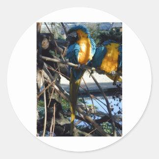 blue and gold macaw round sticker