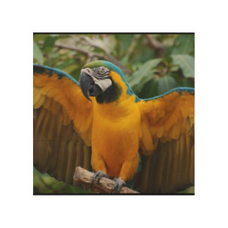 Blue and Gold Macaw with Wings Spread Wood Canvas