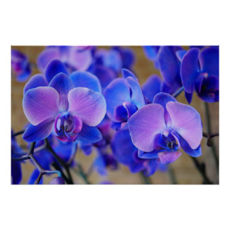Blue and Pink Orchids Poster