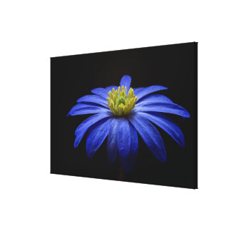 Blue Anemone Modern Floral Fine Art Photography Stretched Canvas Print