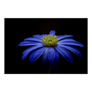 Blue Anemone Modern Floral Fine Art Photography Poster