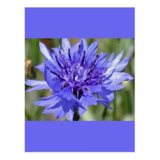 Blue Bachelor Button Flower Post Cards