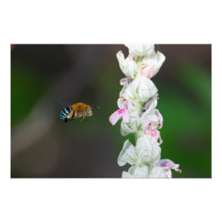 Blue-banded Bee Photographic Print