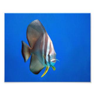 Blue Bat Fish Photograph