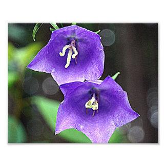 Blue bell flower photographic print