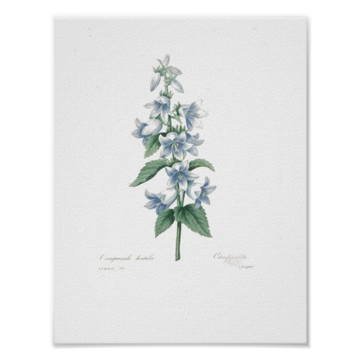 Blue Bells by Redoute Poster