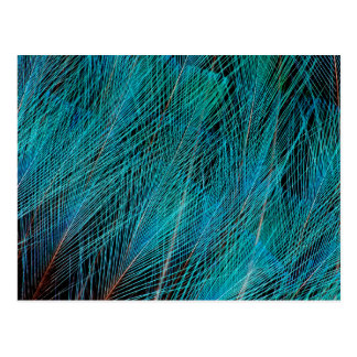 Blue Bird Of Paradise Feathers Postcard