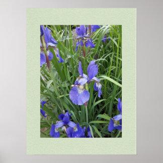 Blue, blue iris poster