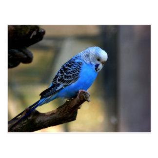 Blue Budgie Postcard