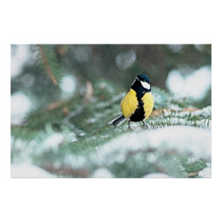 Blue Chickadee On Green Spruce Tree Print