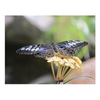 Blue Clipper Butterfly Postcard