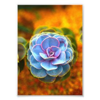 Blue Colored Echeveria Photographic Print