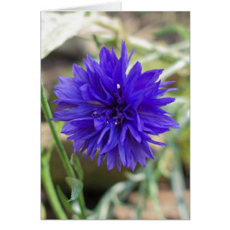 Blue cornflower card