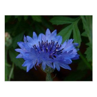 Blue Cornflower Post Card