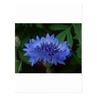 Blue Cornflower Postcard